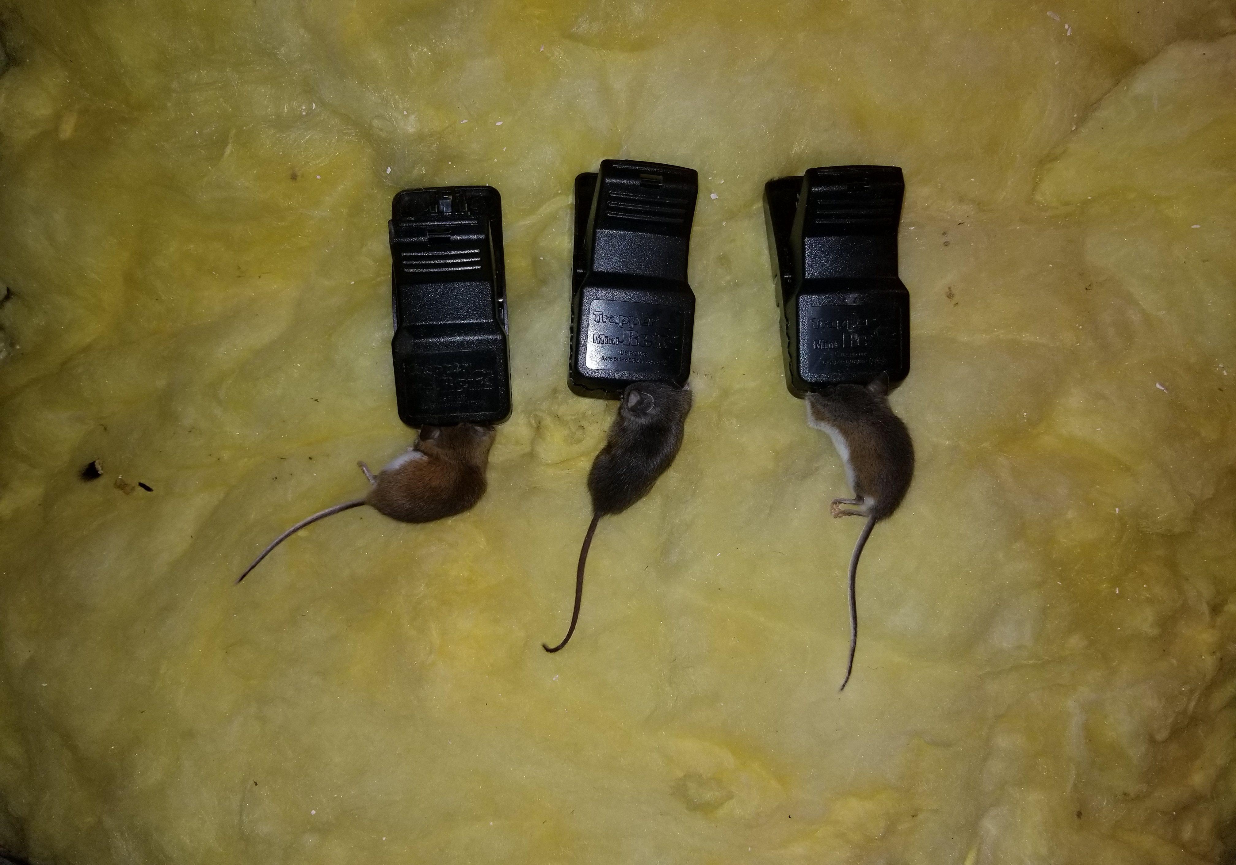 mice dead in traps