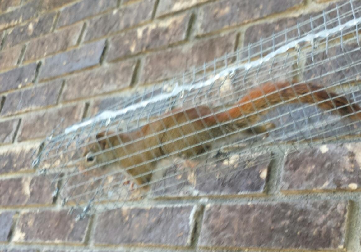 red squirrel in a trap.