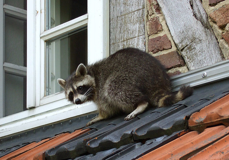 raccoon on a roof