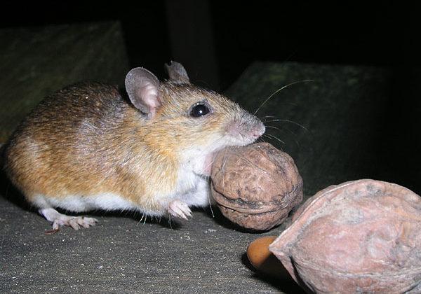 Poison Free Mice Control Greater Ann Arbor Wildlife Control